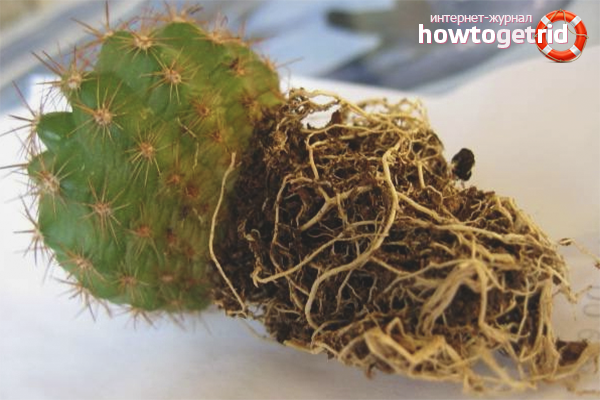 Как да трансплантирате кактус
