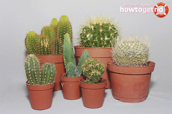 Тънкостите на грижата за кактуса