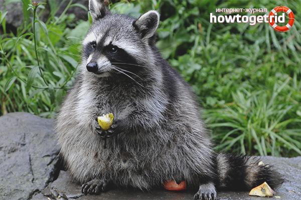 Què alimentar un mapache