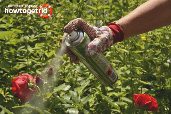 Chemikalien gegen Blattläuse auf Rosen