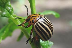 Colorado Patates Böceği'nden nasıl kurtulurum
