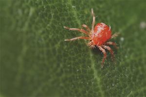 Bir serada örümcek akarından nasıl kurtulur