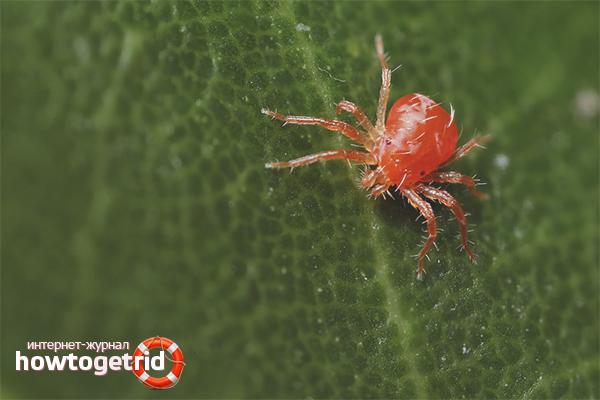 Wie man eine Spinnmilbe in einem Gewächshaus loswird