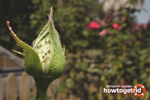 Wie man Blattläuse auf Rosen loswird