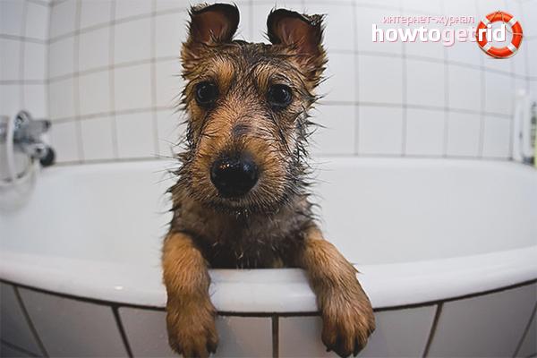 Com rentar un gos