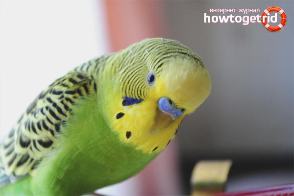 Cum să determinați sexul unui papagal după natură