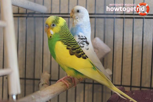 Cum se stabilește sexul diferiților papagali
