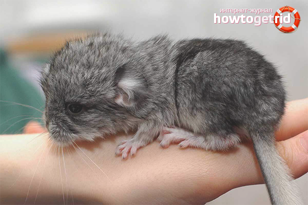 Chinchillas reproductores