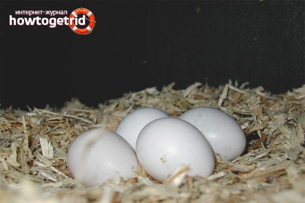 Ouă care eclozează de papagali