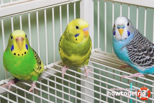 Cum să conduci rapid un papagal într-o cușcă