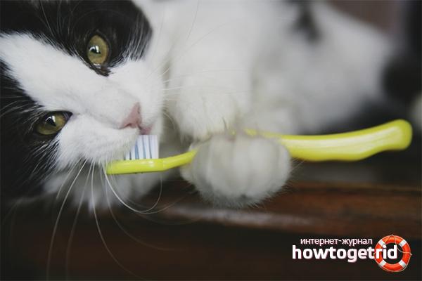 איך לצחצח שיניים של החתול שלך