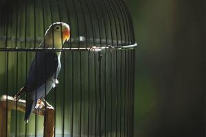 Како возити папагаја у кавезу