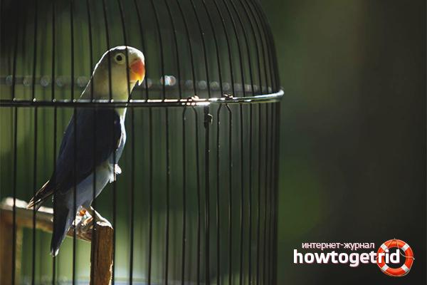 Cum să conduci un papagal într-o cușcă