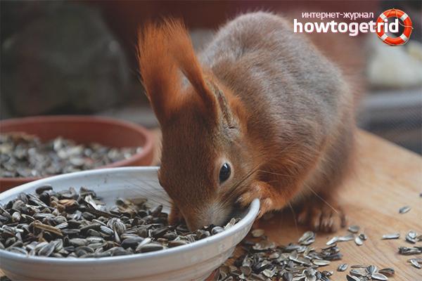 Wie man ein Eichhörnchen füttert
