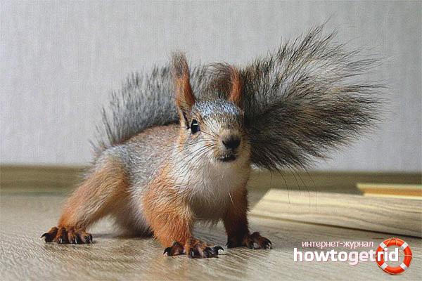 Wie man ein Eichhörnchen pflegt