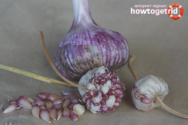 Cara menanam bawang putih dari mentol