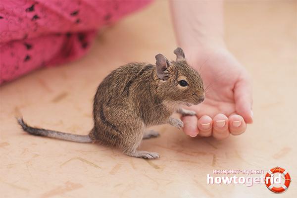 Écureuil degu fait maison