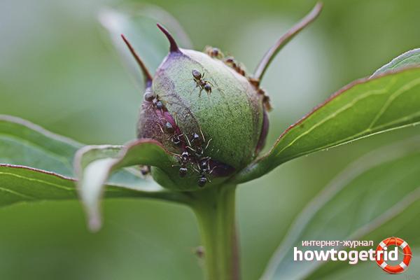 Wie man mit Ameisen auf Pfingstrosen umgeht