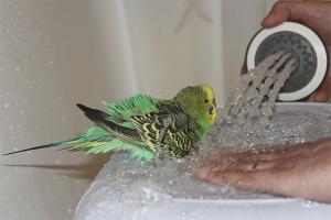 Како се окупају пупољци