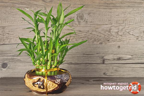 Kā rūpēties par bambusu