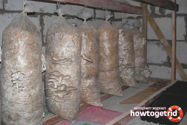 Substrat untuk cendawan tiram