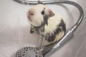 Com banyar-se un cobai