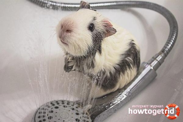 Comment baigner un cochon d'Inde