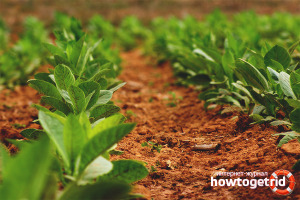 Cara menanam tembakau untuk merokok di kebun