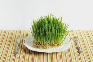 Cara menanam gandum