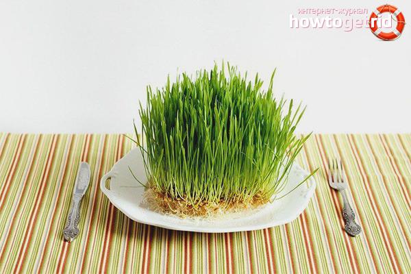 Wie man Weizen keimt