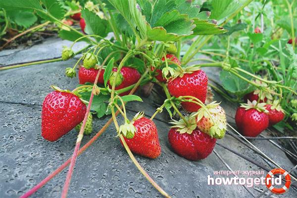 Cara menanam strawberi
