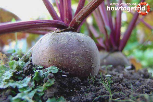 Cara menanam bit di tanah terbuka