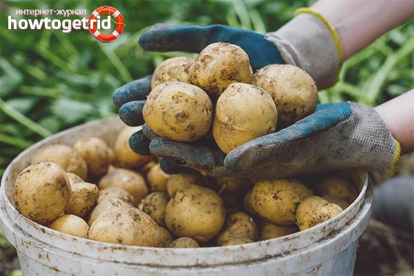 Cara menanam tanaman kentang yang baik
