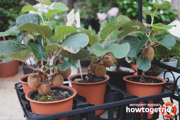 Cara menanam kiwi
