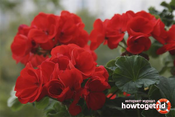 El secret dels geranis florals