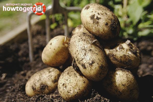 Penuaian kentang