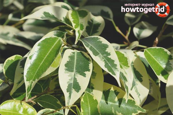 Hnojivo Ficus