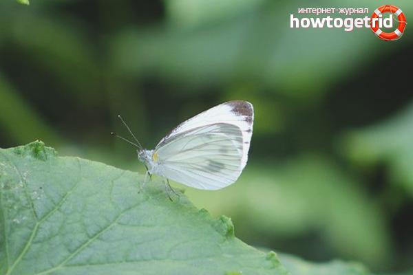 Schmetterlingskohl