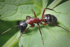 Hur man hanterar myror i trädgården