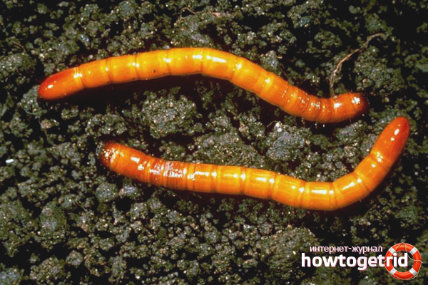 Wie man mit Drahtwürmern umgeht