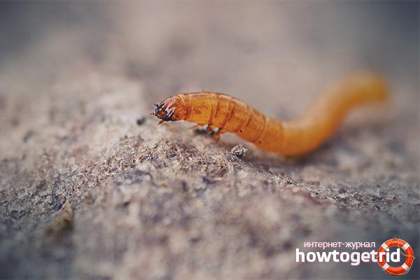 Wie man Drahtwürmer im Garten loswird