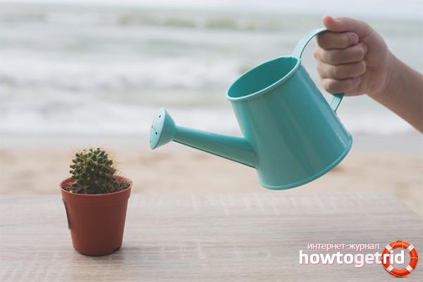 Wie man einen Kaktus gießt
