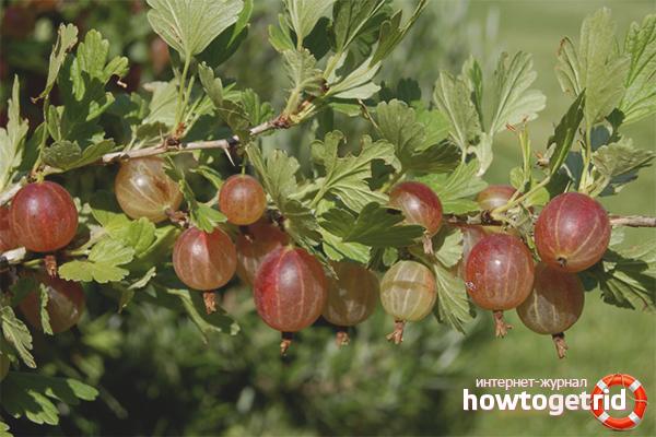 Cara menanam gooseberry