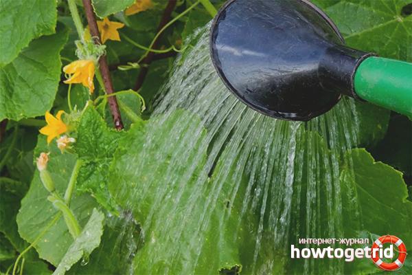 Wie man Gurken gießt
