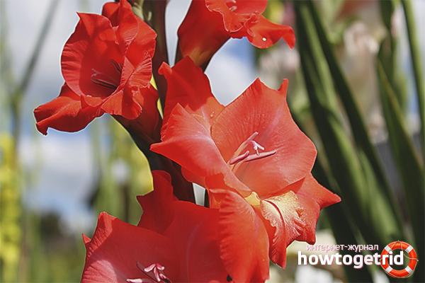 Cara menanam gladioli pada musim bunga