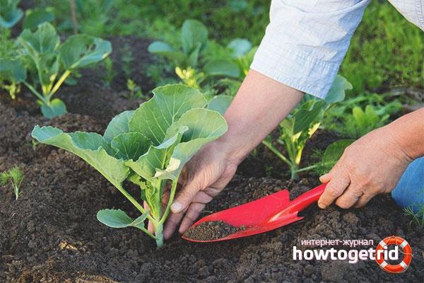 Cara menanam kembang kol