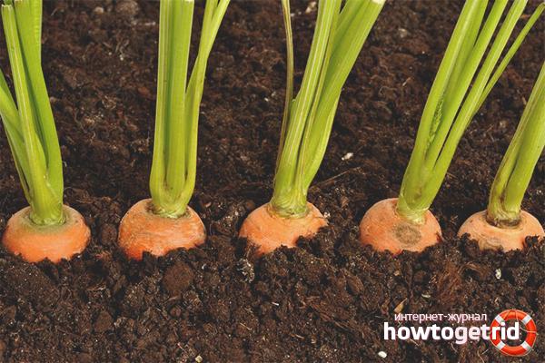 Cara menanam wortel pada musim bunga