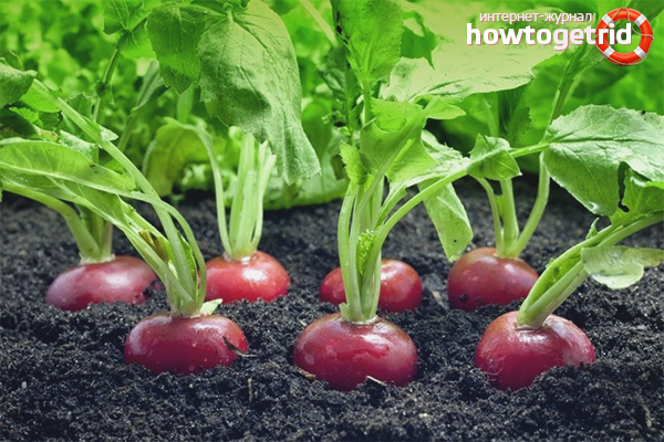 Cara menanam lobak di tanah terbuka