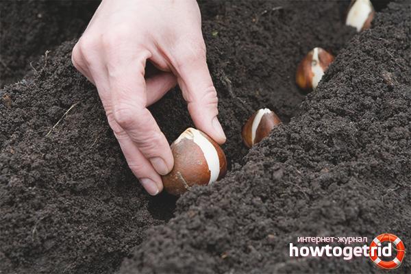 Wie man Tulpen pflanzt