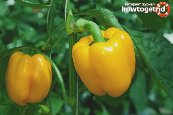 Wie man Paprika pflegt
